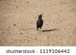 Small photo of Acridotheres Oriolidae bird