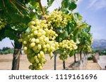 white grape vines on a sunny day | Shutterstock . vector #1119161696