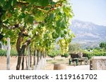 white grape vines on a sunny day | Shutterstock . vector #1119161702