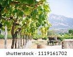 white grape vines on a sunny day | Shutterstock . vector #1119161702