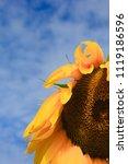 close   up of a sunflower under ... | Shutterstock . vector #1119186596
