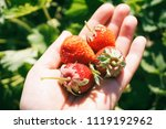 sunny strawberries on a hand | Shutterstock . vector #1119192962