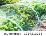strawberries bed covered with... | Shutterstock . vector #1119213215