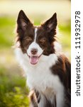 Stock photo happy brown dog border collie portrait in summer 111932978