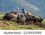griffon vulture   gyps fulvus ... | Shutterstock . vector #1119331985