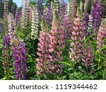 the lupine flower growing for... | Shutterstock . vector #1119344462