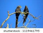 Two Hyacinth Macaws On A Branc...
