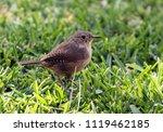 closeup of a small brown bird... | Shutterstock . vector #1119462185