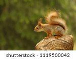 Stock photo a red squirrel sciurus vulgaris also called eurasian red sguirrel sitting in branch in a green 1119500042