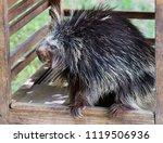 north american porcupine. north ... | Shutterstock . vector #1119506936