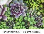 arrangement of succulents or... | Shutterstock . vector #1119548888