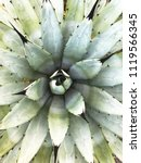 close up of agave plant. | Shutterstock . vector #1119566345