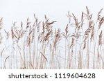 Dry Coastal Reed Over White...