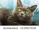 British Domestic Cat Lie And...