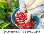 farmer showing red and picked... | Shutterstock . vector #1119626345
