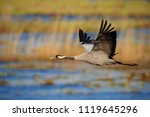 flying common crane  grus grus  ... | Shutterstock . vector #1119645296