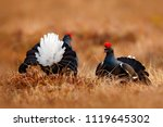 two black grouse fight on the... | Shutterstock . vector #1119645302