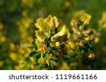 cytisus scoparius  the common... | Shutterstock . vector #1119661166