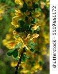 cytisus scoparius  the common... | Shutterstock . vector #1119661172