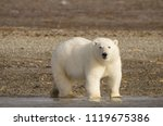 polar bear portrait standing on ... | Shutterstock . vector #1119675386