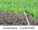A Red Dragonfly Hangs Onto A...