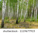 very beautiful spring birch... | Shutterstock . vector #1119677915