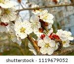 beautiful white flowers of... | Shutterstock . vector #1119679052