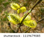 beautiful buds of a willow tree ... | Shutterstock . vector #1119679085