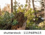 lingonberry foliage in sunset...   Shutterstock . vector #1119689615