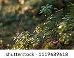 lingonberry foliage in sunset...   Shutterstock . vector #1119689618