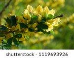cytisus scoparius  the common... | Shutterstock . vector #1119693926