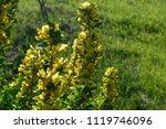 cytisus scoparius  the common... | Shutterstock . vector #1119746096