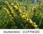 cytisus scoparius  the common... | Shutterstock . vector #1119746102