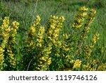 cytisus scoparius  the common... | Shutterstock . vector #1119746126