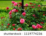 Stock photo beautiful red roses bush in garden at summer day 1119774236