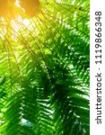 Sunlight On Tropical Fern Leaf...