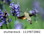 a hummingbird hawk moth in... | Shutterstock . vector #1119872882