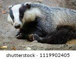 badger near of the hole.... | Shutterstock . vector #1119902405
