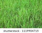 green young rice fields... | Shutterstock . vector #1119904715
