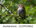 a common nightingale in the... | Shutterstock . vector #1119919862