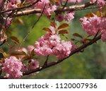 prunus serrulata 'kanzan'  ...   Shutterstock . vector #1120007936