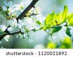 blooming plum tree in the...   Shutterstock . vector #1120021892