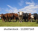Stabilizer   Other Cows In...