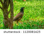 Myna Bird On The Lawn In The...