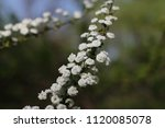 Branch With White Flowers Of...