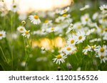 camomile flowers on green... | Shutterstock . vector #1120156526