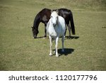 black and white horse | Shutterstock . vector #1120177796