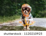 Stock photo funny chihuahua dog posing in a raincoat outdoors by a puddle 1120210925