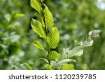 beech tree  spring beech leaf... | Shutterstock . vector #1120239785