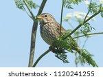 a stunning corn bunting ... | Shutterstock . vector #1120241255